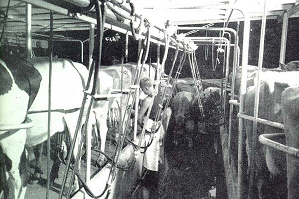 Were invented in 1952 by Waikato farmer and inventor Ron Sharp who combined a pit parlour with angled cow positions after seeing angle-parked cars on Hamilton's main street. He called it the herringbone system, because when viewed from above it resembled a fish skeleton. Herringbone dairies can milk 150 cows per person per hour.
