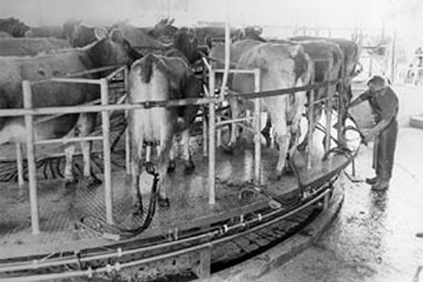 Were invented in 1969 by Taranaki farmer Merv Hicks. His turnstile design consisted of a raised circular concrete or steel platform with 16 to 60 stalls which rotates on wheels driven by electric motors. Cows walk on and are milked during one rotation by operators standing outside the platform. Cows back off once the cups are removed. Rotary dairies can milk 300 cows per person per cow.