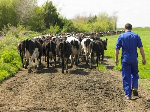Why I chose a career in dairy