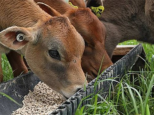 Breeding cattle with better urine