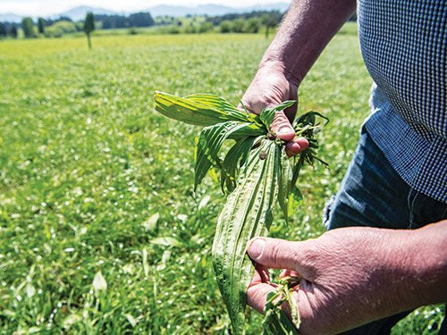 Plantain research a game-changer for farmers