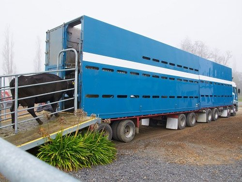 Transporting cows