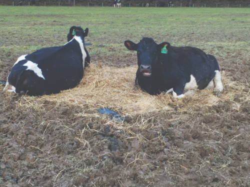 Meeting cow lying time needs