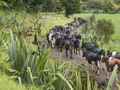 DairyNZ CEO: Make the methane target achievable