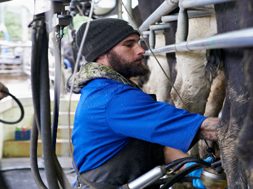 Jobs aplenty, good pay on dairy farms for COVID unemployed